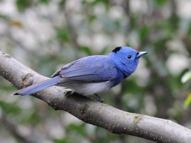 ④ クロエリヒタキ ♂ 成鳥 関渡(關渡)自然公園 台北市 台湾 Guandu Nature Park, Taipei, Taiwan 2012/02/26 Photo by Kohyuh