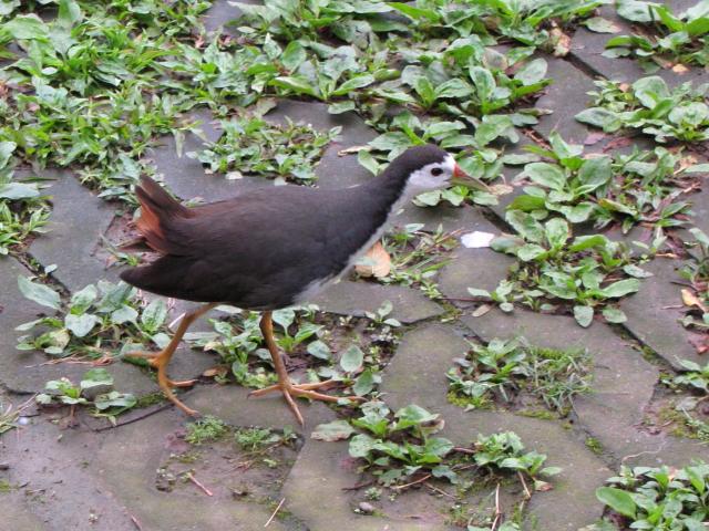 ③ シロハラクイナ 成鳥 台北植物園 台北市 台湾 Taipei Botanical Garden, Taipei, Taiwan 2012/02/25 Photo by Kohyuh