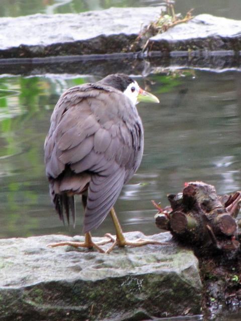 ④ シロハラクイナ 成鳥 台北植物園 台北市 台湾 Taipei Botanical Garden, Taipei, Taiwan 2012/02/25 Photo by Kohyuh