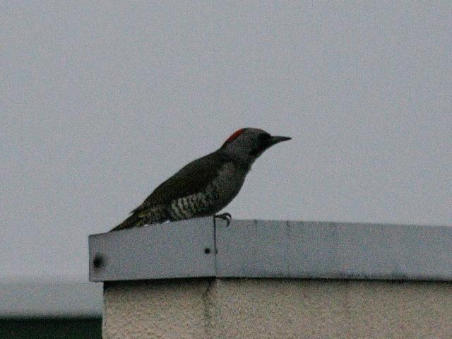 「アオゲラも普通の鳥」 民家の屋根のアオゲラ 2012/06/10 Photo by Kohyuh