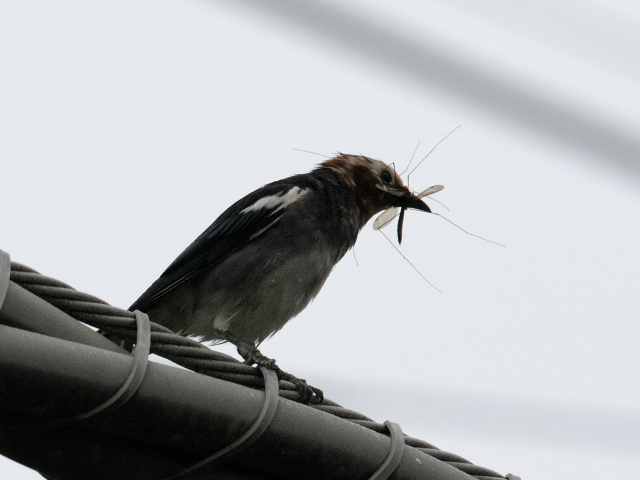 ③ コムクドリ ♂ 成鳥 山中湖 山梨県 2012/06/10 Photo by Kohyuh