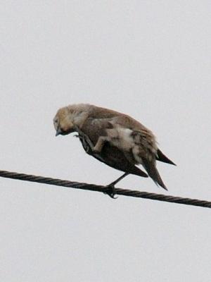コムクドリの頭掻き 2012/06/09 Photo by Kohyuh