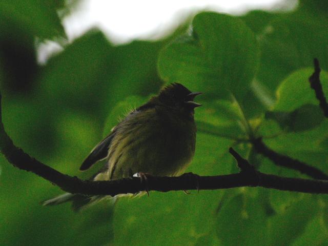 ② ノジコ 成鳥 山中湖文学の森公園 山梨県 2012/06/11 Photo by Kohyuh