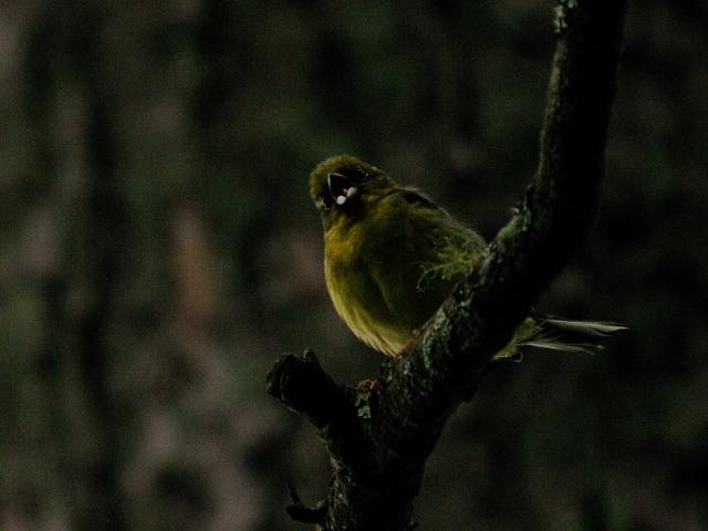 ③ ノジコ 成鳥 山中湖文学の森公園 山梨県 2012/06/11 Photo by Kohyuh