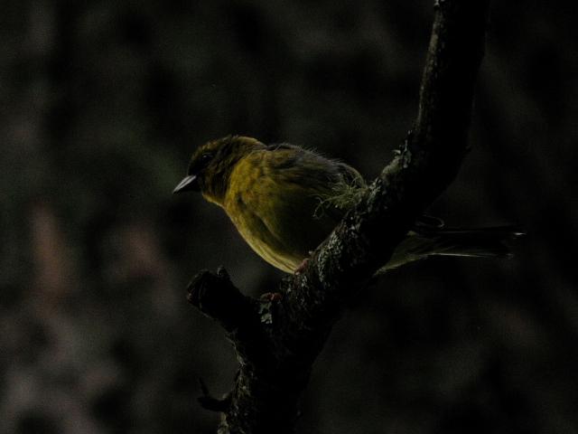 ⑤ ノジコ 成鳥 山中湖文学の森公園 山梨県 2012/06/11 Photo by Kohyuh