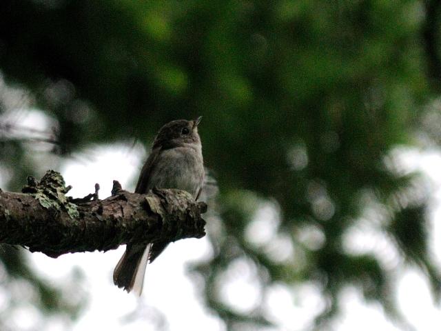 ⑥ ノジコ 成鳥 山中湖文学の森公園 山梨県 2012/06/11 Photo by Kohyuh