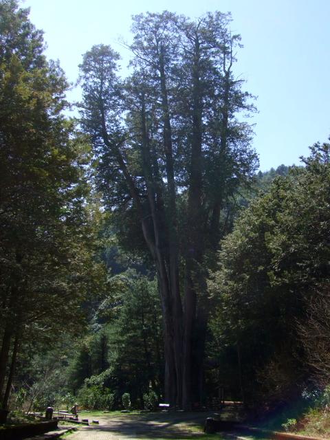 雪山神木 Syueshan Sacred Tree 2012/03/01 Photo by Kohyuh