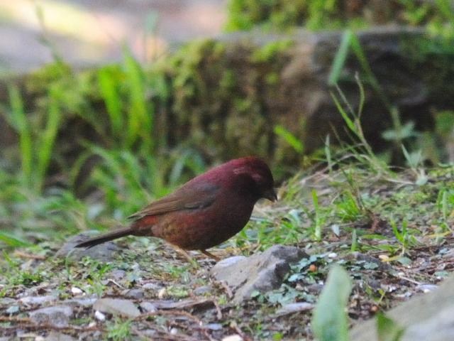 ⑥ タカサゴマシコ ♂ 成鳥 賞鳥平台 大雪山国家森林遊楽区 台湾 Bird Watching Deck, Dasyueshan National Forest Recreation Area, Taiwan 2012/03/01 Photo by Kohyuh