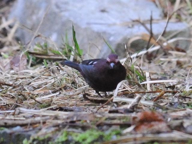 ⑦ タカサゴマシコ ♂ 成鳥 賞鳥平台 大雪山国家森林遊楽区 台湾 Bird Watching Deck, Dasyueshan National Forest Recreation Area, Taiwan 2012/03/01 Photo by Kohyuh