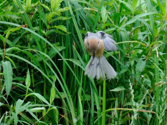⑥ モズ 成鳥 ホバリング 琵琶湖さざなみ街道 滋賀県 2012/06/26 Photo by Kohyuh