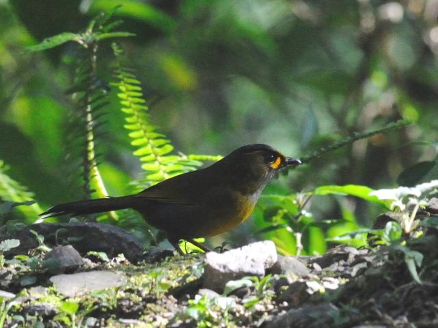 ③ ヤブドリ 成鳥 賞鳥平台 大雪山国家森林遊楽区 台湾 Bird Watching Deck, Dasyueshan National Forest Recreation Area, Taiwan 2012/03/01 Photo by Kohyuh