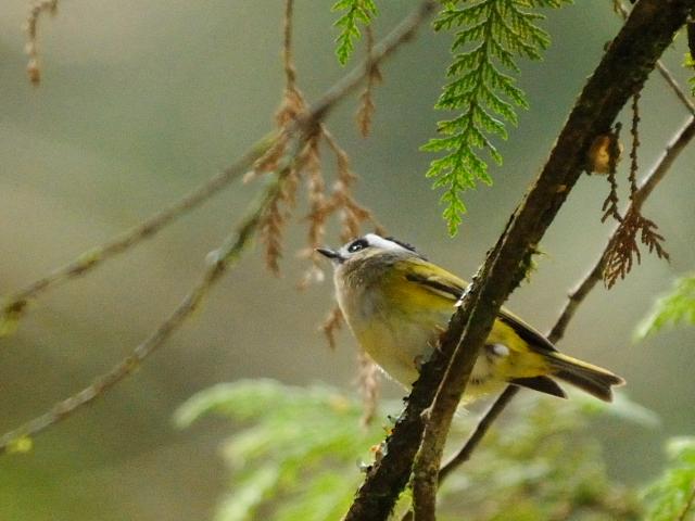 ① ニイタカキクイタダキ 成鳥 阿里山国家森林遊楽区 台湾 Alishan National Forest Recreation Area, Taiwan 2012/03/03 Photo by Kohyuh