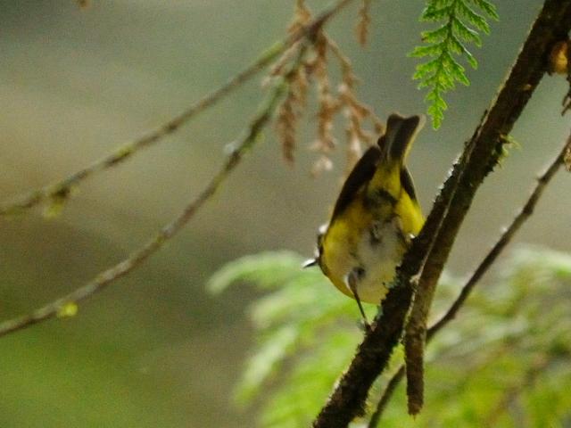 ② ニイタカキクイタダキ 成鳥 阿里山国家森林遊楽区 台湾 Alishan National Forest Recreation Area, Taiwan 2012/03/03 Photo by Kohyuh