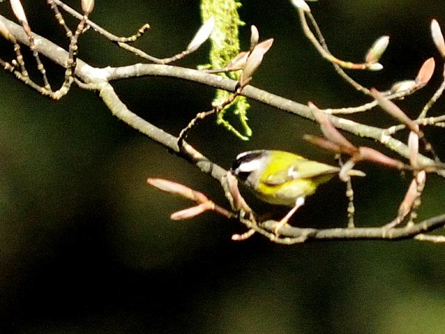 ③ ニイタカキクイタダキ 成鳥 阿里山国家森林遊楽区 台湾 Alishan National Forest Recreation Area, Taiwan 2012/03/03 Photo by Kohyuh