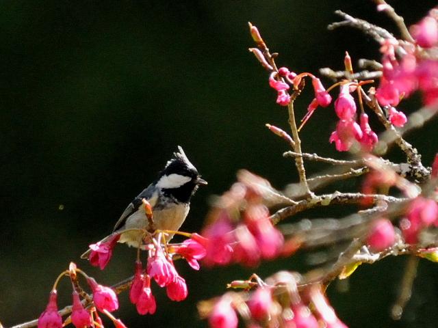① ヒガラ 成鳥 阿里山国家森林遊楽区 台湾 Alishan National Forest Recreation Area, Taiwan 2012/03/03 Photo by Kohyuh