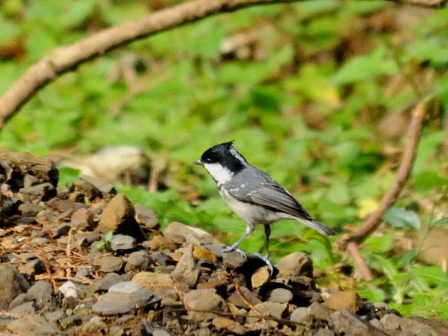 ④ ヒガラ 成鳥 阿里山国家森林遊楽区 台湾 Alishan National Forest Recreation Area, Taiwan 2012/03/03 Photo by Kohyuh