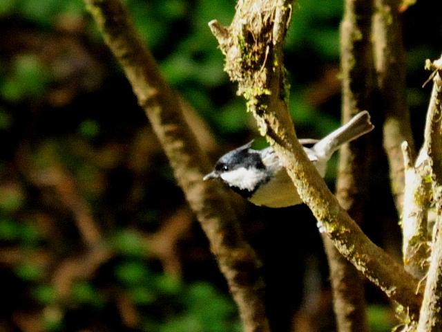 ⑤ ヒガラ 成鳥 阿里山国家森林遊楽区 台湾 Alishan National Forest Recreation Area, Taiwan 2012/03/03 Photo by Kohyuh