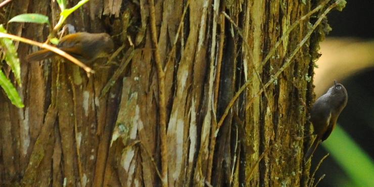 ③ アリサンチメドリ 成鳥 阿里山国家森林遊楽区 台湾 Alishan National Forest Recreation Area, Taiwan 2012/03/03 Photo by Kohyuh