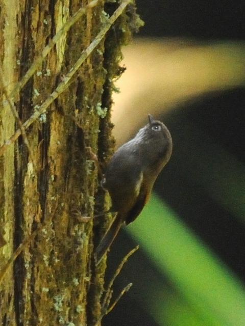 ① アリサンチメドリ 成鳥 阿里山国家森林遊楽区 台湾 Alishan National Forest Recreation Area, Taiwan 2012/03/03 Photo by Kohyuh