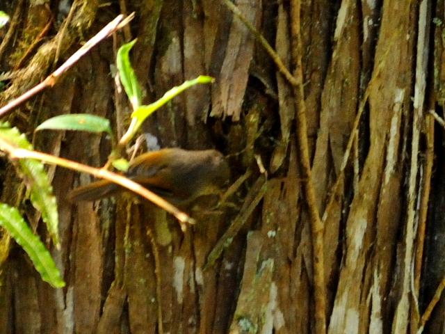 ② アリサンチメドリ 成鳥 阿里山国家森林遊楽区 台湾 Alishan National Forest Recreation Area, Taiwan 2012/03/03 Photo by Kohyuh