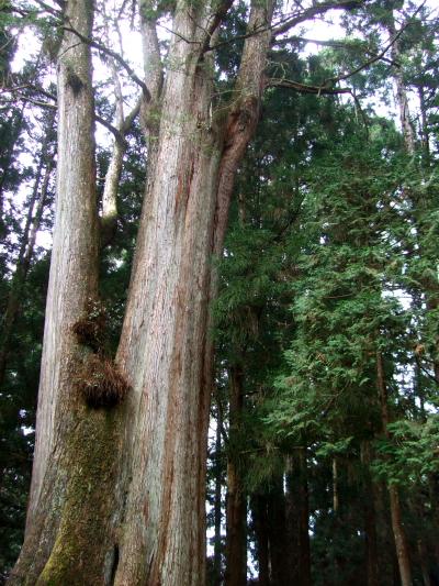 千歳檜 Thousand Year cypress 2012/03/03 Photo by Kohyuh