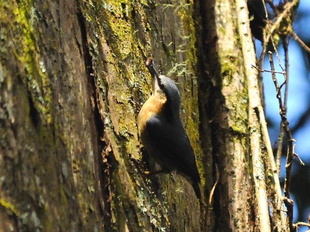 ② ゴジュウカラ 成鳥 阿里山国家森林遊楽区 台湾 Alishan National Forest Recreation Area, Taiwan 2012/03/03 Photo by Kohyuh