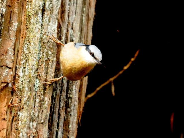 ④ ゴジュウカラ 成鳥 阿里山国家森林遊楽区 台湾 Alishan National Forest Recreation Area, Taiwan 2012/03/03 Photo by Kohyuh