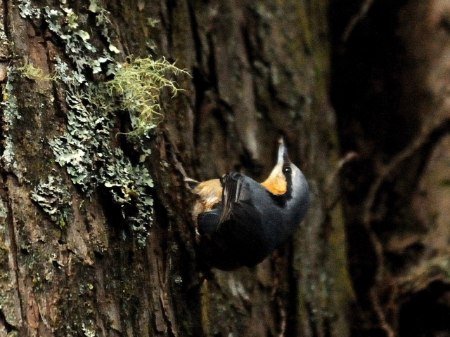 ⑤ ゴジュウカラ 成鳥 阿里山国家森林遊楽区 台湾 Alishan National Forest Recreation Area, Taiwan 2012/03/03 Photo by Kohyuh