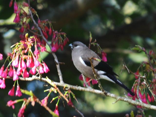 ① チャイロウソ 成鳥 阿里山国家森林遊楽区 台湾 Alishan National Forest Recreation Area, Taiwan 2012/03/04 Photo by Kohyuh