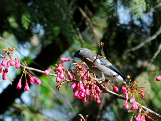 ② チャイロウソ 成鳥 阿里山国家森林遊楽区 台湾 Alishan National Forest Recreation Area, Taiwan 2012/03/04 Photo by Kohyuh