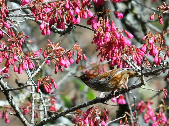 ⑨ シマドリ 成鳥 阿里山国家森林遊楽区 台湾 Alishan National Forest Recreation Area, Taiwan 2012/03/04 Photo by Kohyuh