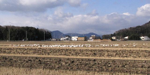 コハクチョウの採餌風景 2013/01/17 Photo by Kohyuh
