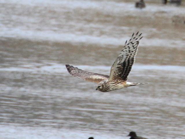 ④ ハイイロチュウヒ ♀ 成鳥 西の湖 滋賀県 2013/02/07 Photo by Manda (写真提供: 萬田)