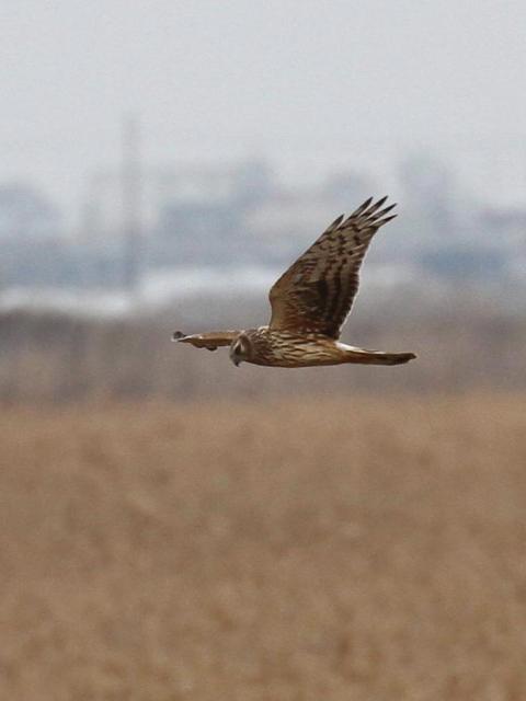 ⑥ ハイイロチュウヒ ♀ 成鳥 西の湖 滋賀県 2013/02/07 Photo by Manda (写真提供: 萬田)