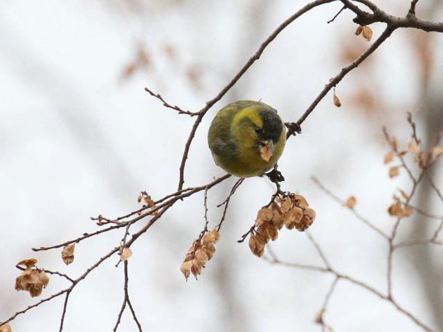 ① マヒワ ♂ 成鳥 服部緑地 豊中市 2012/12/18 Photo by Manda (写真提供: 萬田)