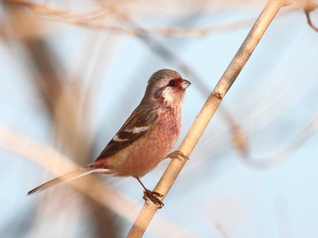 �H-5 ベニマシコ ♂ 成鳥 かわきた自然運動公園 八幡市 2013/01/24 Photo by Manda