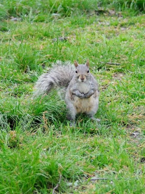 ハイイロリス (1) Grau squirrel (Acsiurus caroolinensis) セントラル・パーク ニューヨーク 米国 Central park, Newyork, America 2013/05/13 Photo by Kohyuh