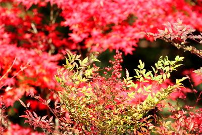 松尾寺で南天