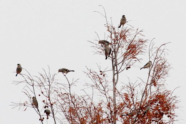 イカルの群れ 2013/12/19 Photo by Manda