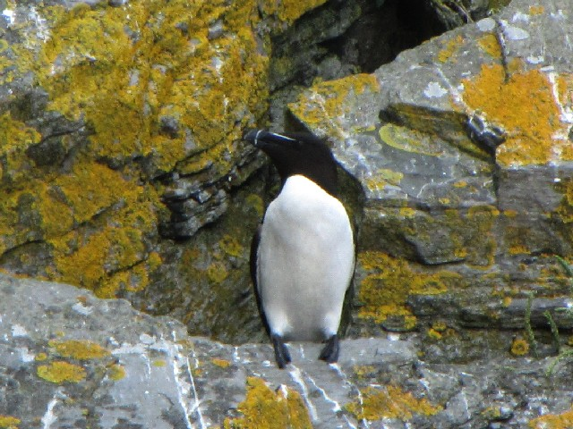 �A オオハシウミガラス 成鳥 夏羽 小スケリッグ島 アイルランド Little Skellig, Ireland 2009/06/04 Photo by Kohyuh