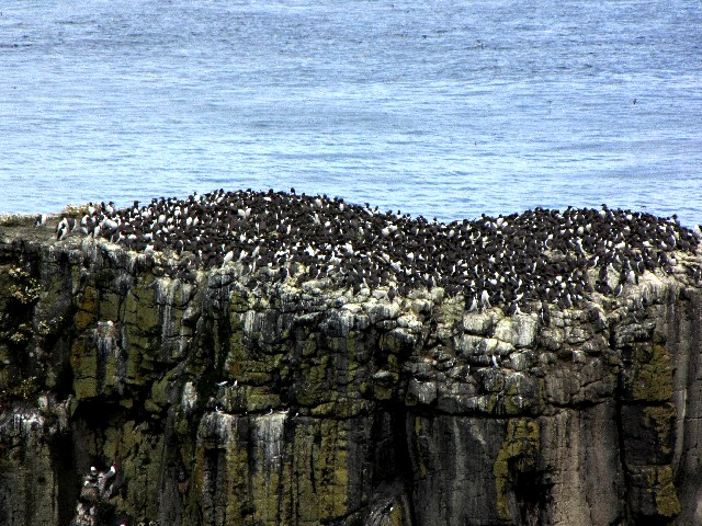 �C ウミガラスのコロニー  ラスリン島シーバード・センター 北アイルランド Rathlin Island Seabird Center, Northern Irelamd 2009/06/14 Photo by Kohyuh