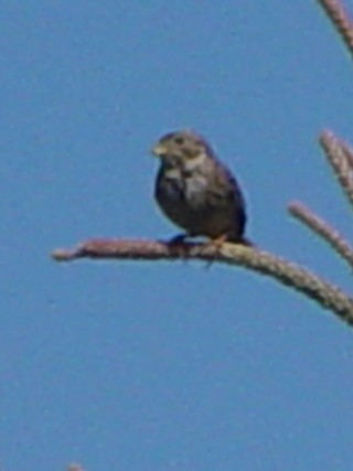 �@-1 ハタホオジロ (2態) 成鳥  ドニャーナ国立公園 スペイン Donana National Park, Spain 2005/05/03 Photo by Kohyuh