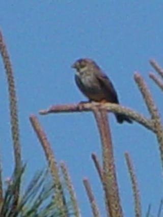 �@-2 ハタホオジロ (2態) 成鳥  ドニャーナ国立公園 スペイン Donana National Park, Spain 2005/05/03 Photo by Kohyuh