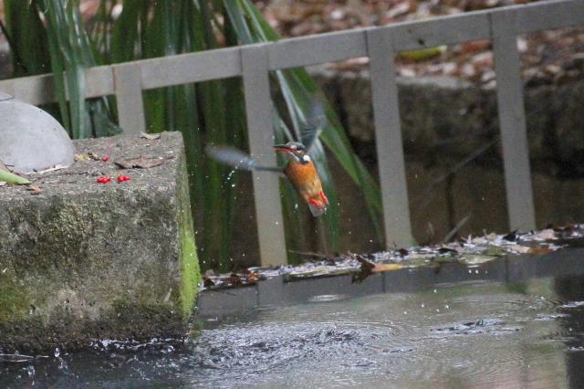 (12) カワセミ (♀)  成鳥 枚方市 山田池 2014/01/05  Photo by Manda