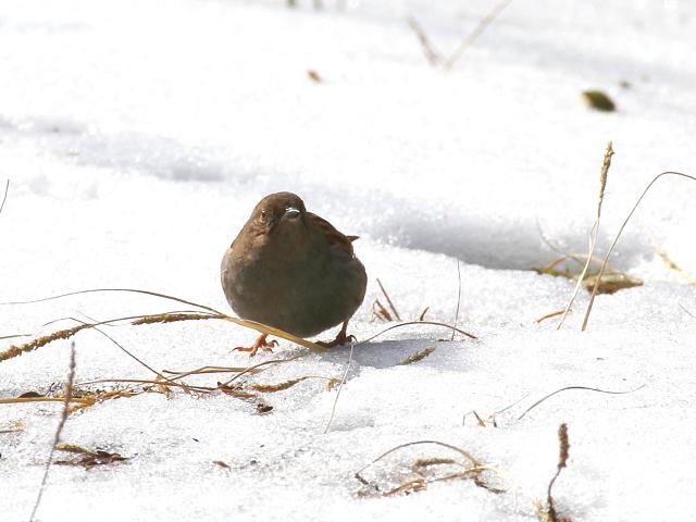 カヤクグリ (4態-1) 成鳥 冬羽 白旗池 交野市 2014/02/11 Photo by manda