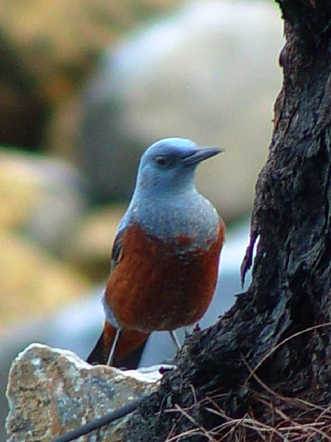 �A イソヒヨドリ 成鳥 ♂ 恩納村 沖縄県 2009/01/23  Photo by Kohyuh