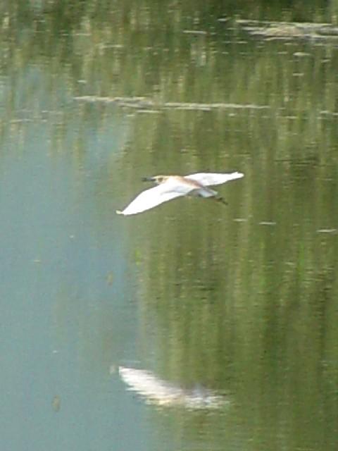 �C カンムリサギ ケルキニ湖にて  ケルキニ ギリシャ Kerkini, Greece 2008/05/28 Photo by Kohyuh