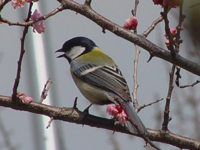 �@ シジュウカラ 枚方市 山田池公園  2007/03/26  Photo by Kohyuh
