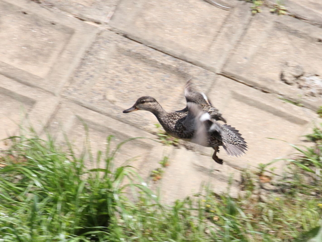 コガモ (♀) の飛び立ち
