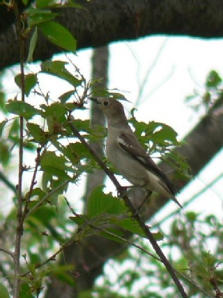 �B コムクドリ ♀ 八幡市 背割堤 2006/04/30 Photo by Takase